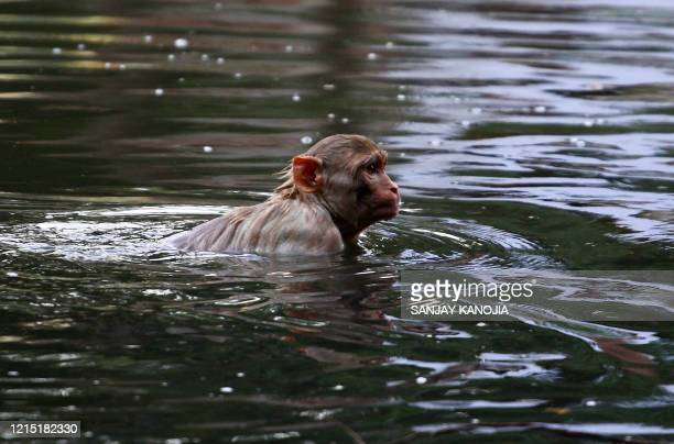 Monkey swims in a pond during a hot summer day in Allahabad on May 26, 2020.