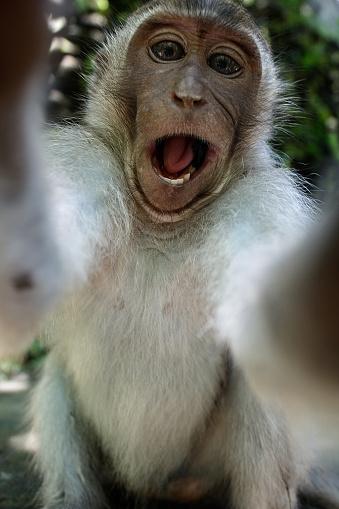 Monkey taking a funny selfie 521203614