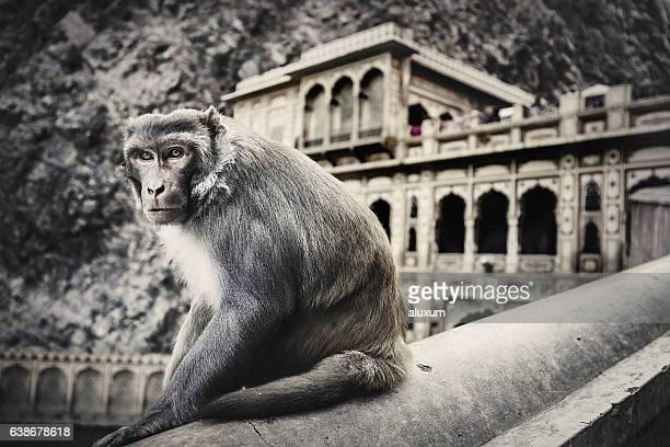 Monkey temple Galtaji Rajasthan India