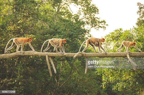 monkey troop - island of borneo stock pictures, royalty-free photos & images