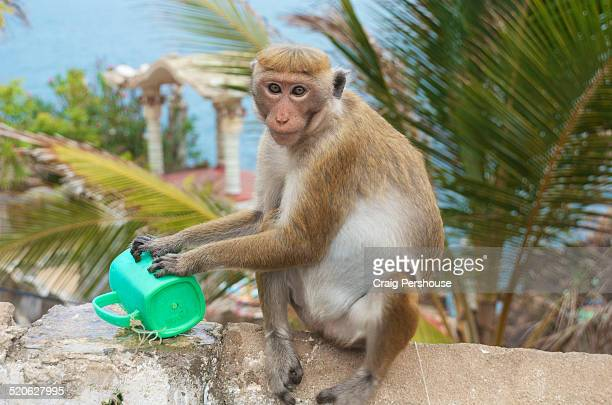 Monkey typing on a plastic jug