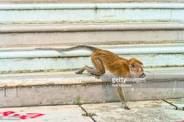 monkey walking on the step down - monkey shoes stock photos and pictures