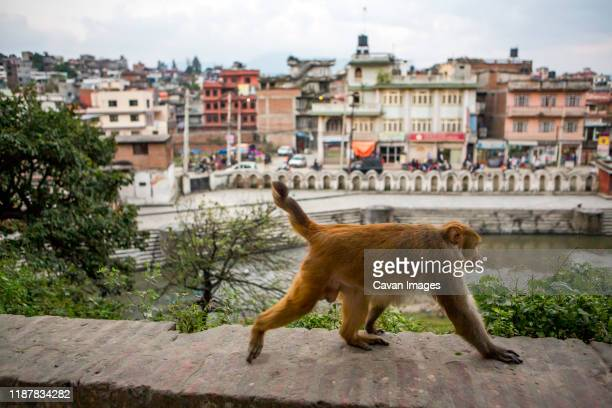 a monkey walks along the edge of pashupatinath temple in kathmandu - pashupatinath stock pictures, royalty-free photos & images