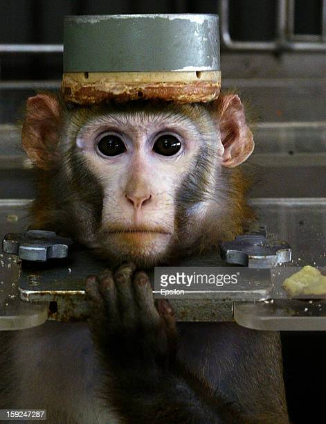 A monkey wearing a metal cap to cover the electrodes in its head is held in metal braces during testing at the Medical and Biological Problems...