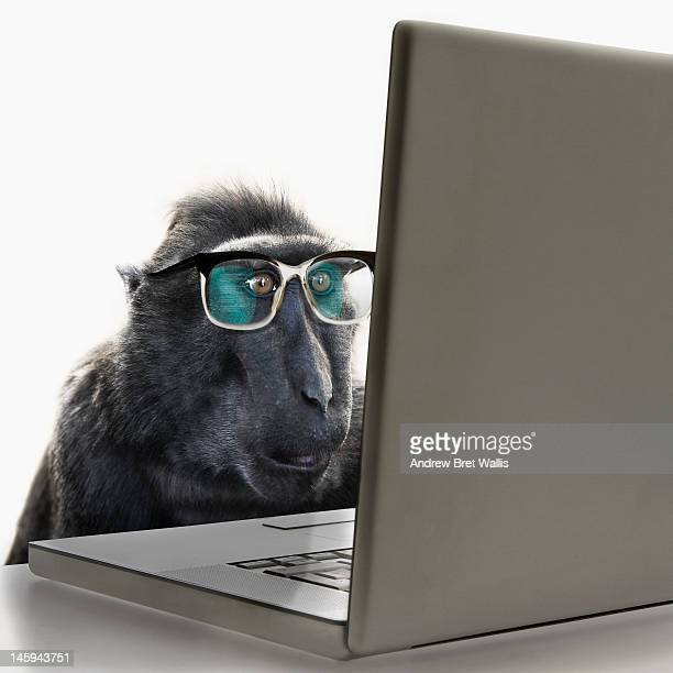 monkey wearing spectacles using laptop computer - funny monkeys stock pictures, royalty-free photos & images