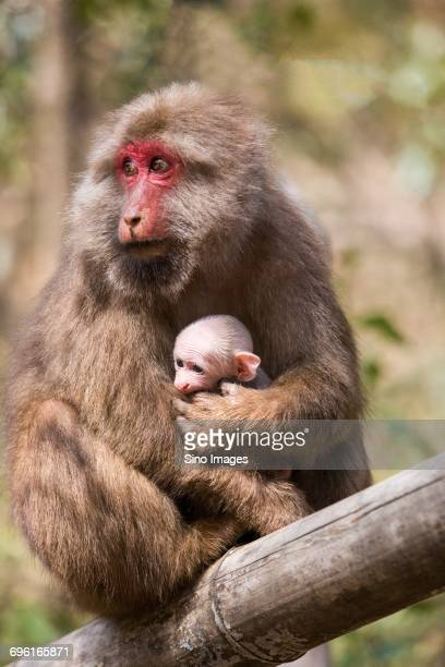 Monkey with baby sitting on branch