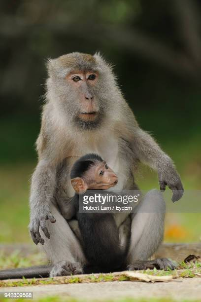 monkey with infant sitting on grass - bako national park stock pictures, royalty-free photos & images