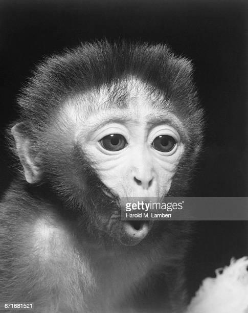 monkey with mouth open - vertebrato foto e immagini stock