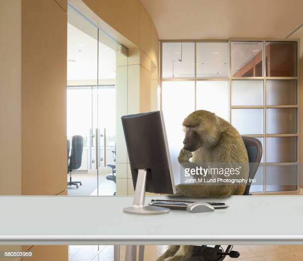 Monkey working at computer in office