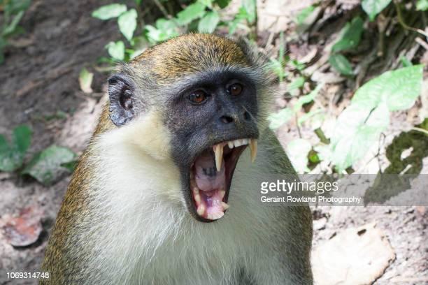Monkey Yawn, Sharp Teeth