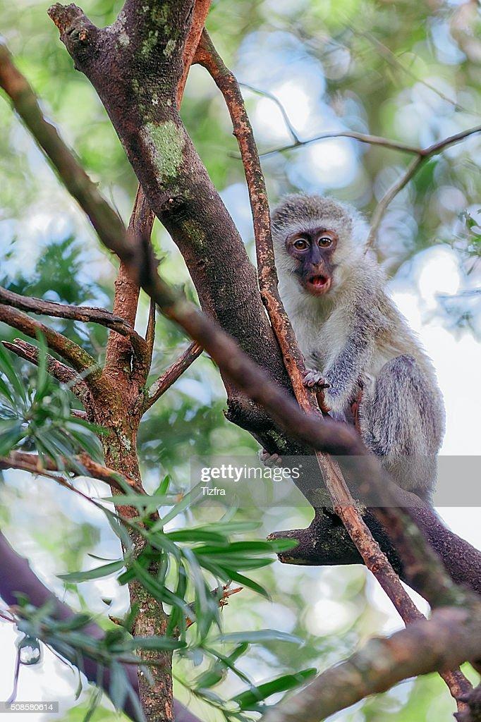 Monkeyland Knysna : Stock Photo