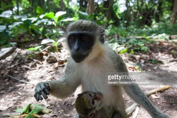 Monkeys, Africa