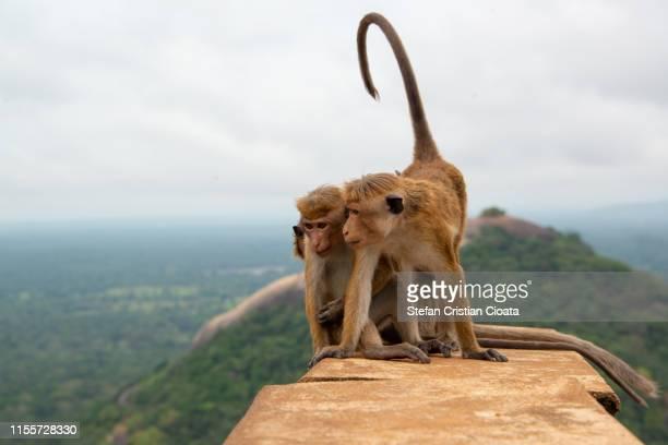 monkeys at sigiriya, sri lanka - マカク属 ストックフォトと画像