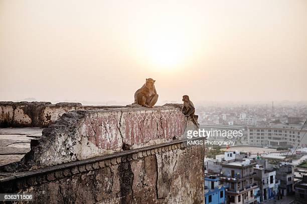Monkeys at Sunset in Jaipur