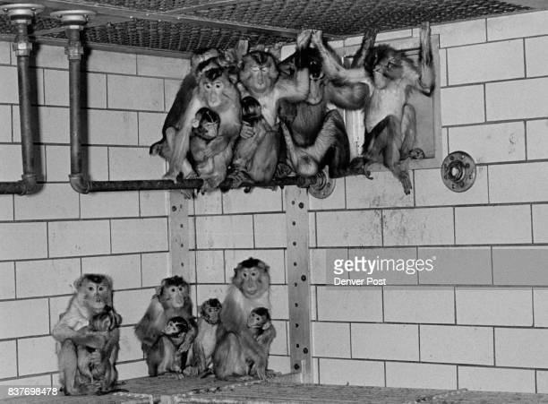 Monkeys at Univ of Colo Primate Center They are part of he colony but not the same monkeys used at cochlear implant experiments Credit The Denver Post