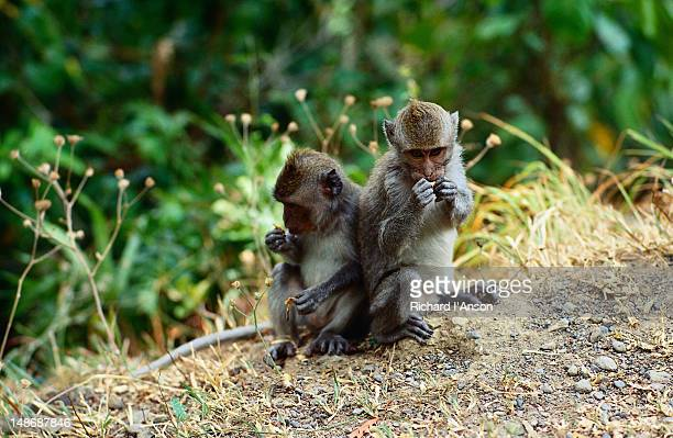 monkeys by roadside on pasuk pass. - lombok fotografías e imágenes de stock