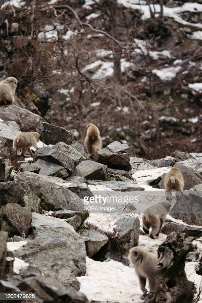 Monkeys climb a snowy mountain Jigokudani Yaenkoen was opened in 1964 and its known to be the only place in the world where monkeys bathe in hot...