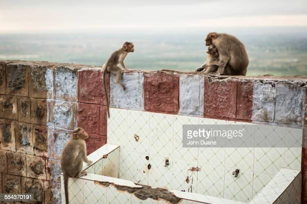Monkeys climbing on dilapidated rock wall