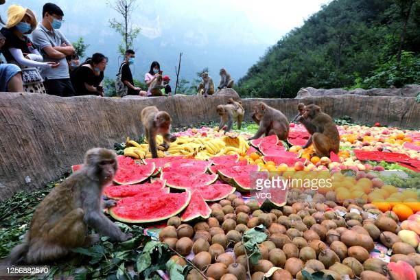 Monkeys eat fruit at the National Macaque Nature Reserve of Taihang Mountain on July 18, 2020 in Jiyuan, Henan Province of China.