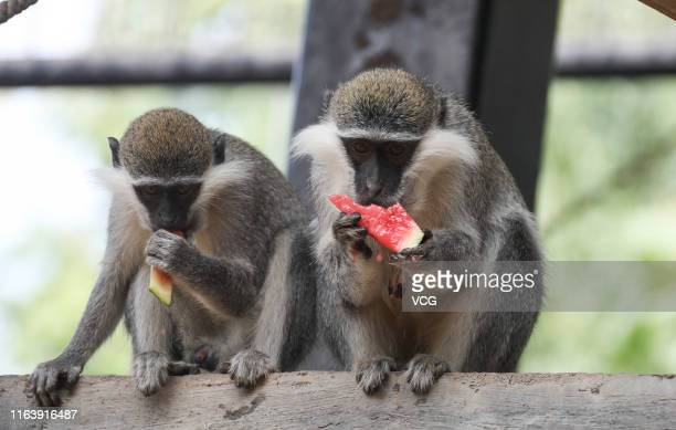 Monkeys eat watermelon at a zoo on July 23 2019 in Huaian Jiangsu Province of China Dashu is the 12th solar term of Chinese lunar calendar and falls...
