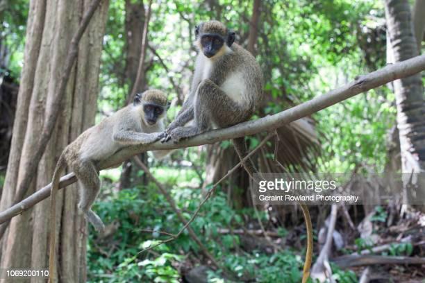 Monkeys in a Tree, Africa