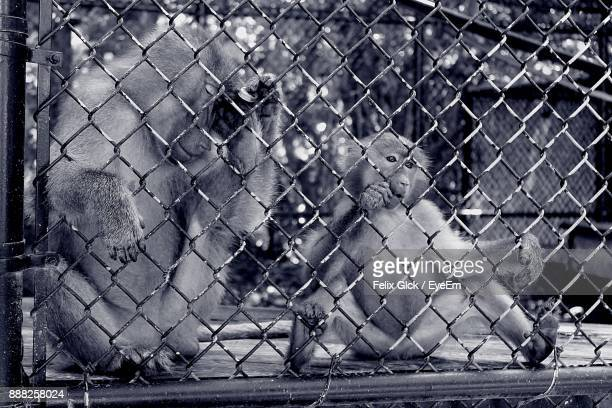 Monkeys In Cage At Zoo