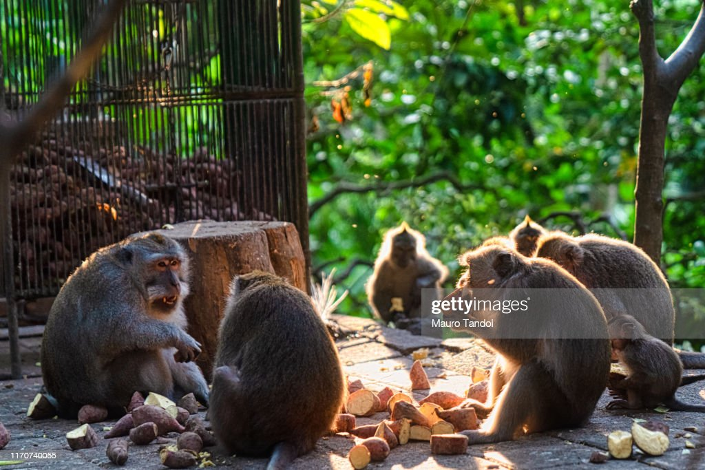 Monkeys in Sacred Monkey Forest Sanctuary, Ubud, Bali, Indonesia : Foto stock