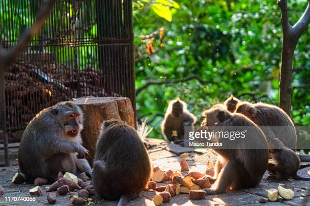 monkeys in sacred monkey forest sanctuary, ubud, bali, indonesia - mauro tandoi stock photos and pictures