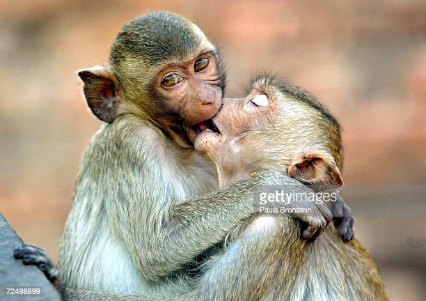 Monkeys kiss at the monkey temple called Phra Prang Sam Yot on February 16 about 160 kilometers north of Bangkok in Lopburi Thailand