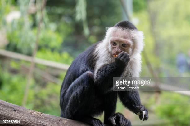 monkey's life - mono capuchino fotografías e imágenes de stock