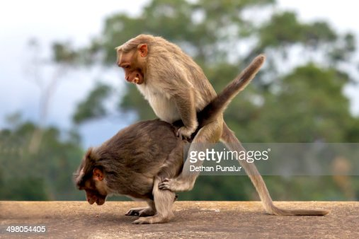 Monkeys Mating High-Res Stock Photo - Getty Images-4219