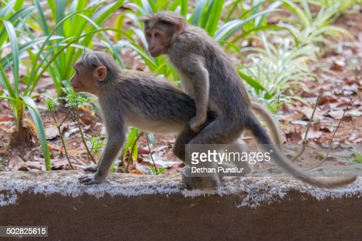 Monkeys Mating Stock Photo | Getty Images