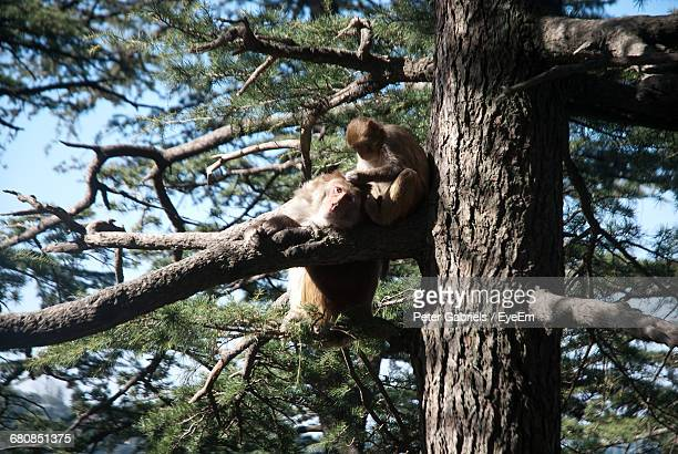monkeys on branch - shimla stock pictures, royalty-free photos & images