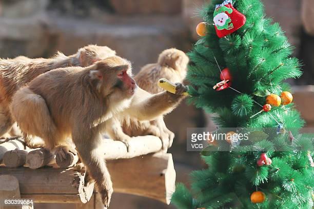 Monkeys pick fruit from a Christmas tree decorated by Zhengzhou Zoo on December 22 2016 in Zhengzhou Henan Province of China The Zhengzhou Zoo holds...