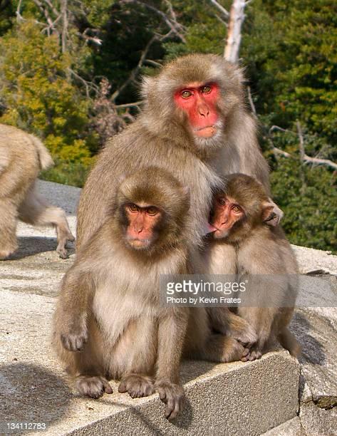 monkeys - japanese breastfeeding stock pictures, royalty-free photos & images