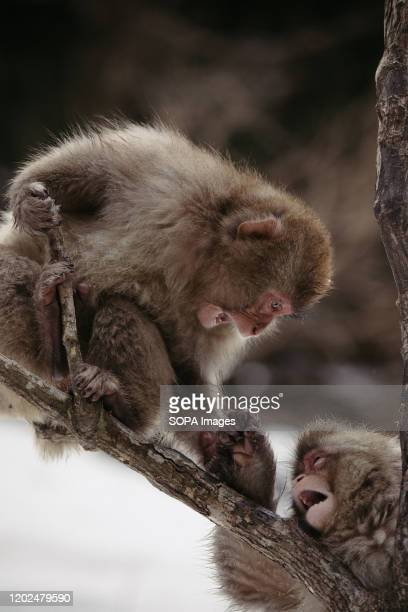 Monkeys play on a tree Jigokudani Yaenkoen was opened in 1964 and its known to be the only place in the world where monkeys bathe in hot springs The...
