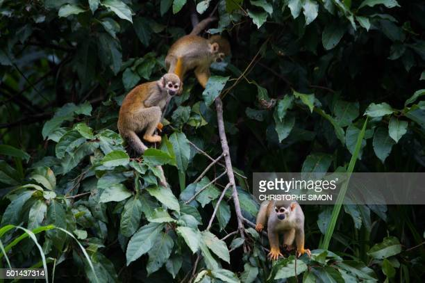 Monkeys play on the banks of the Rio Negro river in Amazonia Brazil on December 9 2015 AFP PHOTO / Christophe SIMON / AFP PHOTO / CHRISTOPHE SIMON