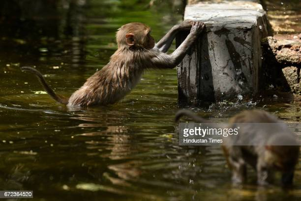 Monkeys playing in the water channel at Zoological Park on a hot summer day on April 24 2017 in New Delhi India