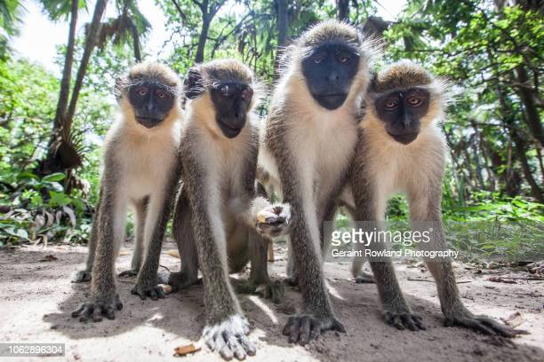 monkeys pose for a photo in the gambia - banjul stock pictures, royalty-free photos & images