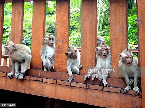 Monkeys Relaxing On Wooden Footbridge