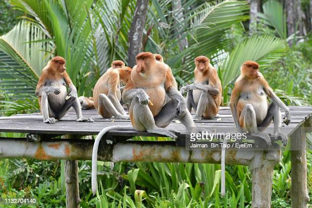 monkeys sitting on wooden roof in forest - sabah state stock pictures, royalty-free photos & images