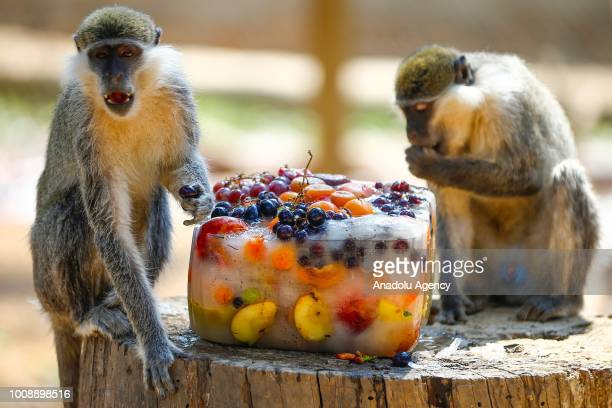 Monkeys try to cool themselves with iced fruits at Antalya Zoo during a hot summer day in Antalya Turkey on August 1 2018