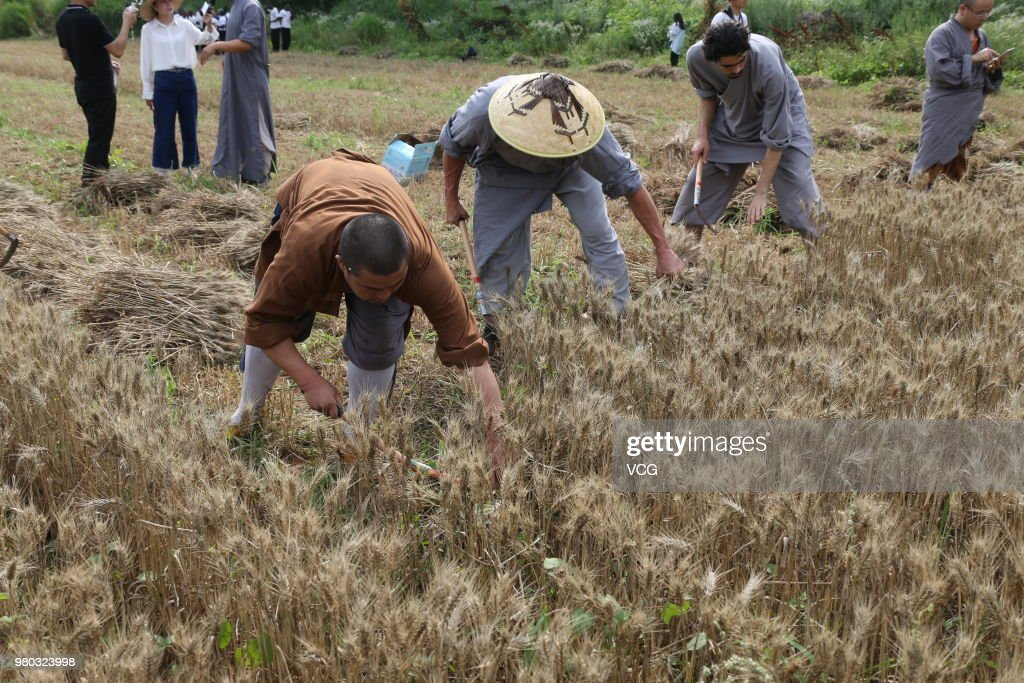 Shaolin Monks Harvest Wheat In Zhengzhou
