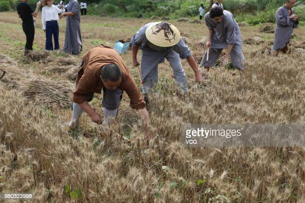 Monks from the Shaolin Temple harvest wheat to practice Buddhism on a farm on June 21 2018 in Zhengzhou Henan Province of China A total of 120 mu of...