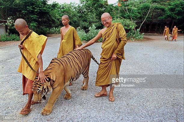 Monks take a tiger out of its cage for an afternoon walk June 5, 2001 at the Wat Pa Luangta Bua monastery in Kanchanaburi, Thailand. Eight tigers...