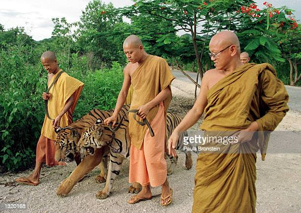 Monks take tigers out of their cages for an afternoon walk June 5, 2001 at the Wat Pa Luangta Bua monastery in Kanchanaburi, Thailand. Eight tigers...