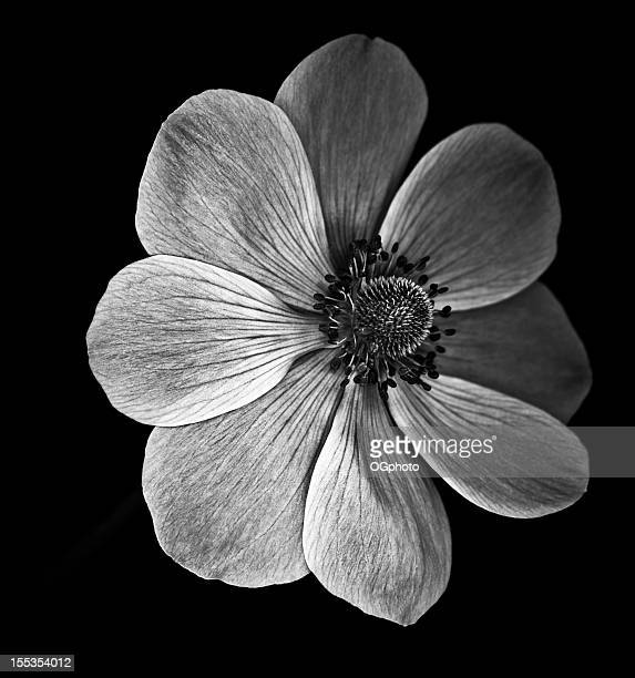 monochrome anemone poppy - ogphoto stock photos and pictures