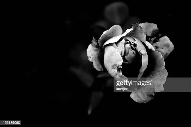 monochrome chinese rose - black rose stock pictures, royalty-free photos & images