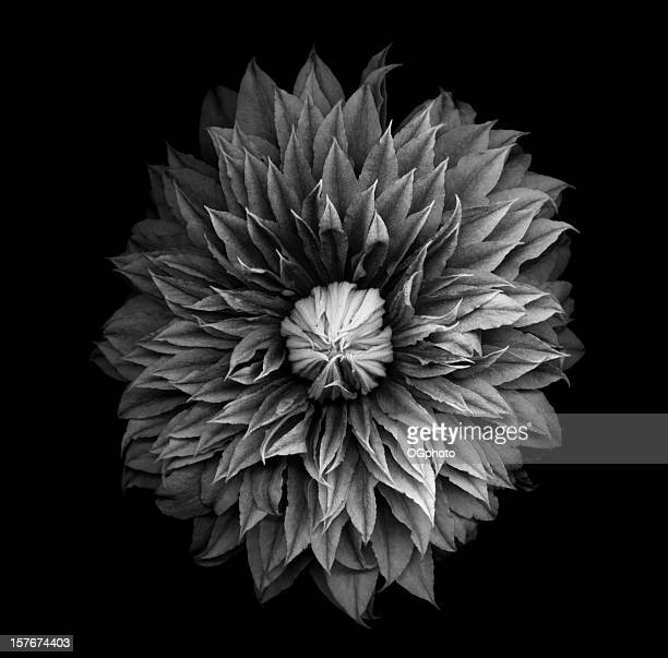 monochrome clematis blossom - ogphoto stock photos and pictures