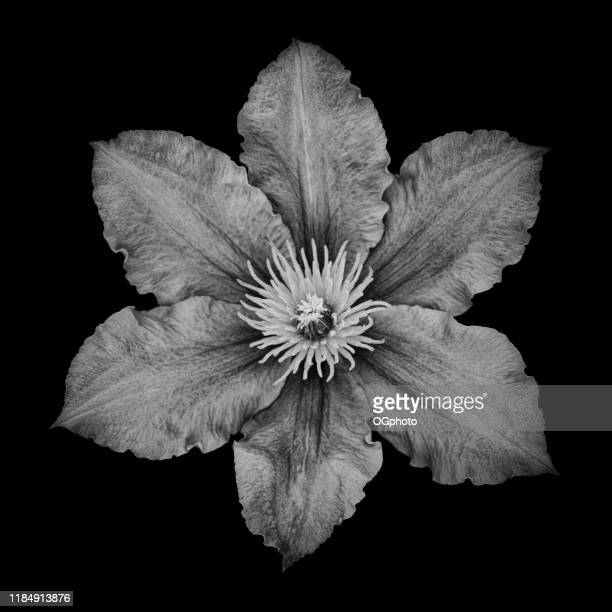 monochrome clematis isolated against black background - ogphoto stock photos and pictures